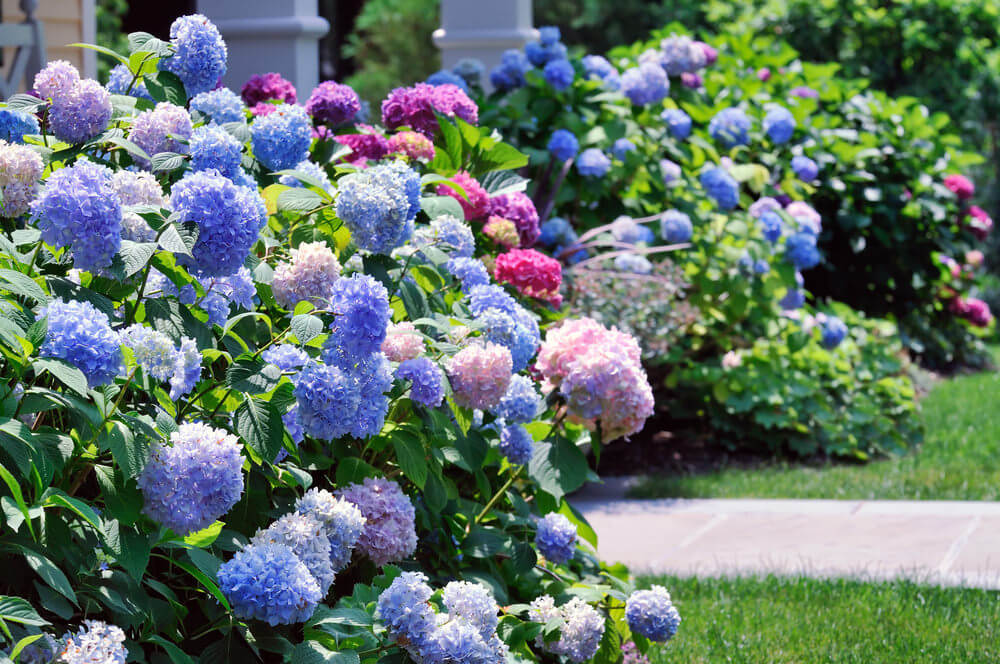 Hydrangeas in front yard.