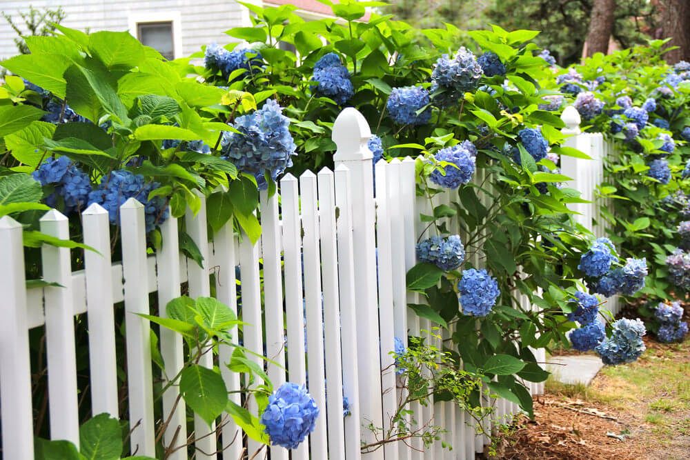 White picket fence with blue hydrangea flowers above and through creating a beautiful fence and garden effect.