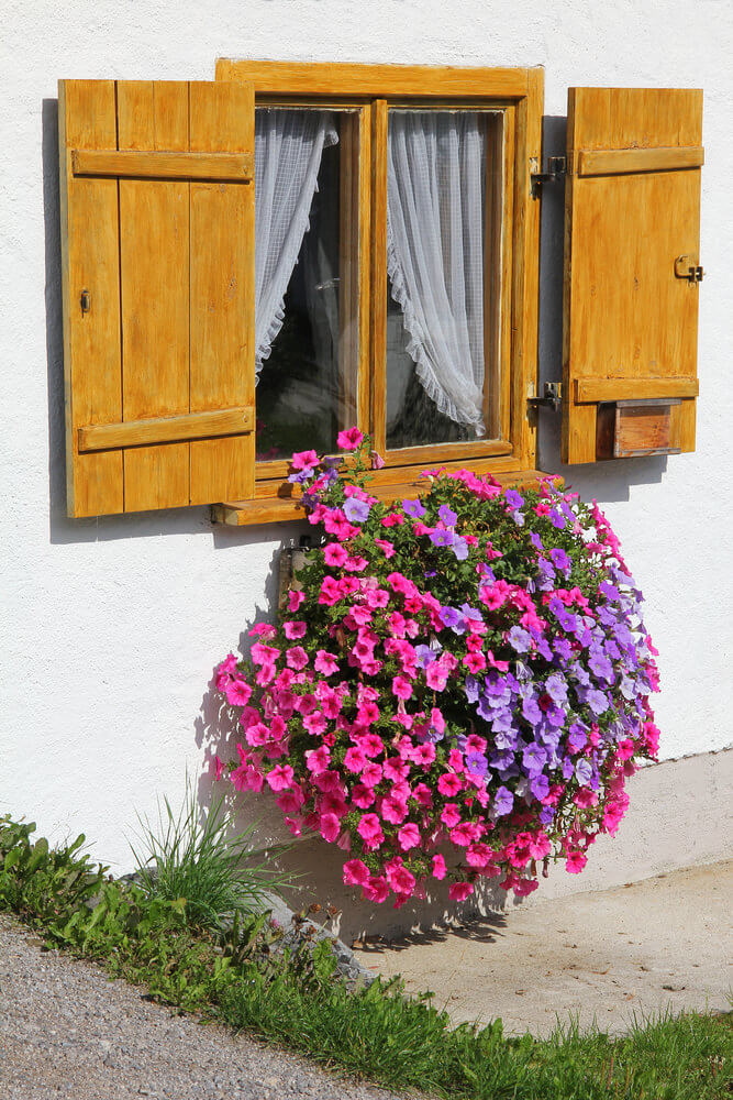 Window flower box where the flowers are full and in bloom and pouring out of the front of the box creating a spilling effect.