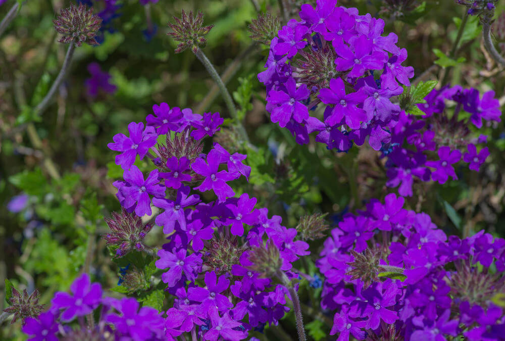 Purple Verbena Flowers are erect, shrubby perennials that can grow up to 6 ft tall in southern regions and 3 ft tall in the northern parts. They grow 2 to 3 inches of rounded clusters of 1/4 inches deep purple flower from mid-summer through fall and self-seeds readily. They can be ornaments to your garden grounds, house walls, or in a hanging pot.