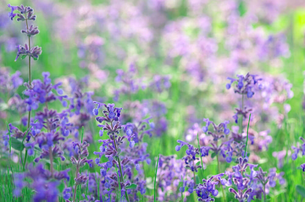 Purple Catmint flowers are related to catnips but have showier flowers and are useful in garden settings with their range of heights. Some of these flowers reach a foot tall or even up to 3-4 feet tall.
