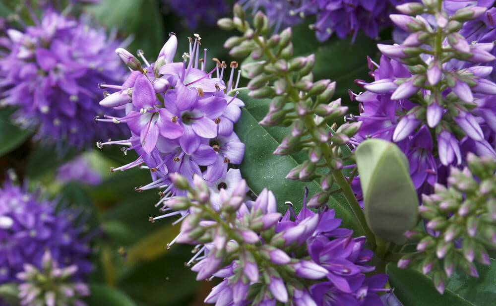 Also known as Speedwell, Purple Veronica flowers are carefree and easy to cultivate with long spikes of small petals. They grow in clusters from 1 to 3 feet tall and easily attract birds and butterflies.