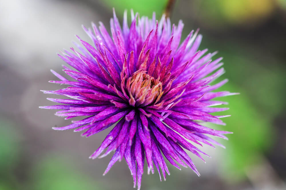 Purple Cornflowers resemble daisies with raised centers and easily attract butterflies and songbirds. They can be used for herbal remedies, are drought-tolerant, and easy to cultivate.