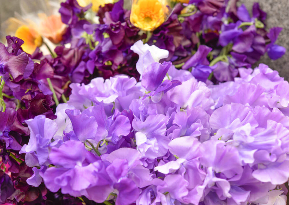 Purple Sweet Pea flowers are so-called because they resemble peas. These flowers originated in Sicily and are a bit tricky to grow. They are slow to germinate and produce orange-jasmine-honey fragrance.