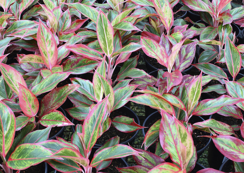 Aglaonema modestum has beautiful foliage and is one of the most durable houseplants you can own. It tolerates poor lighting, dry air, and even drought.
