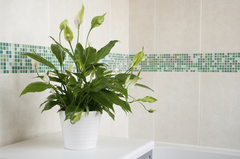 Beautiful peace lily in a bathroom.