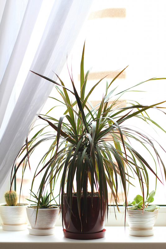 The dragon tree, or Dracaena marginata, is a low-maintenance houseplant with striped narrow leaves. It can grow up to 10-15 feet in height with care and time. Be careful not to over-water, as this is the quickest way to kill your plant.
