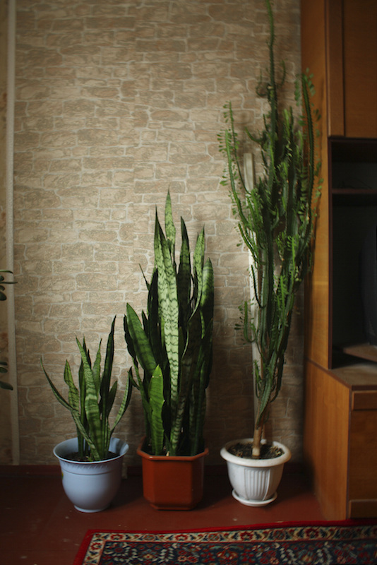 Also known as 'Mother-in-Law's Tongue' Sansevieria trafasciata 'Laurentii' is a succulent that has distinct long, pointed leaves that stand upright. It's typically a rich green, but can have yellowed edges.