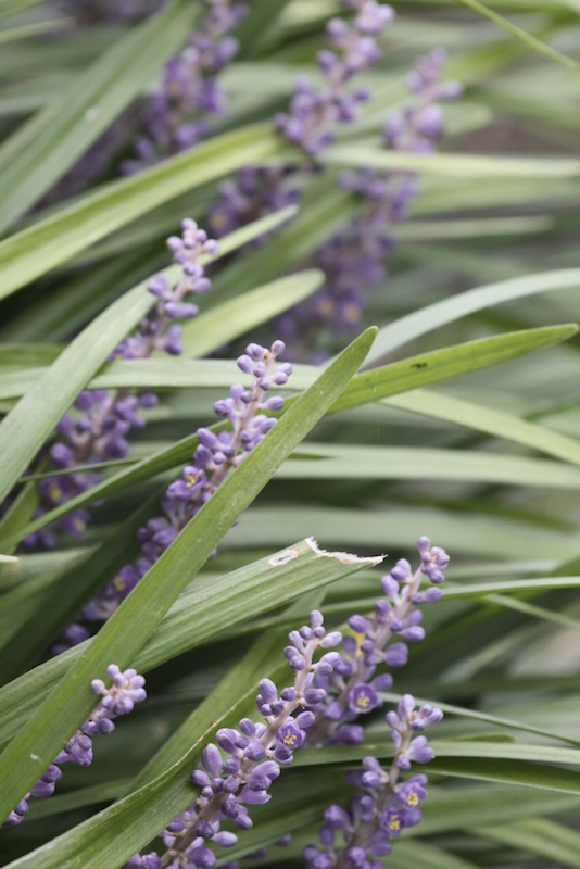 Liriope spicata filters formaldehyde, xylene, toluene, and ammonia out of your environment, and is non-toxic to pets. The hardy perennials can reach a height of up to 45 cm, and have grass-like leaves.