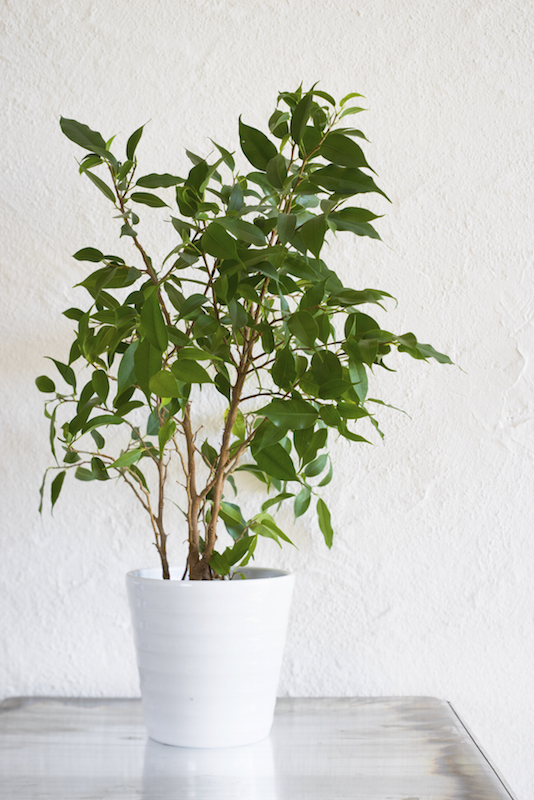 Ficus benjamina loves bright light and lots of water, although it will need to dry out slightly between waterings. The plant is popular with growers, who may braid the trunks to give it a decorative look.