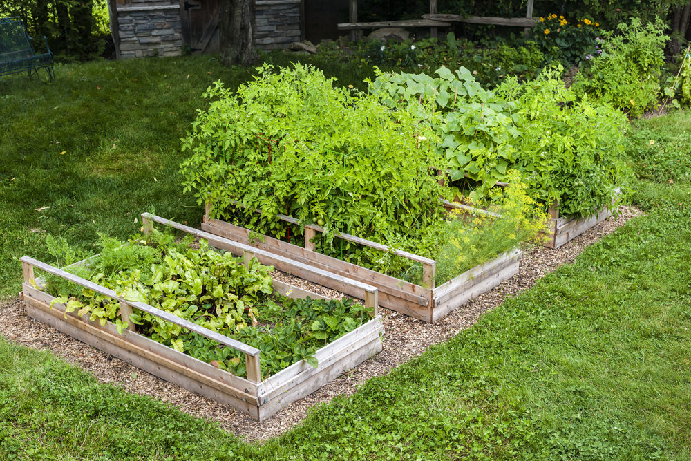 Because these raised beds aren't very high, a little bit of mulch around this trio of boxes is a nice way to break up all the greenery.
