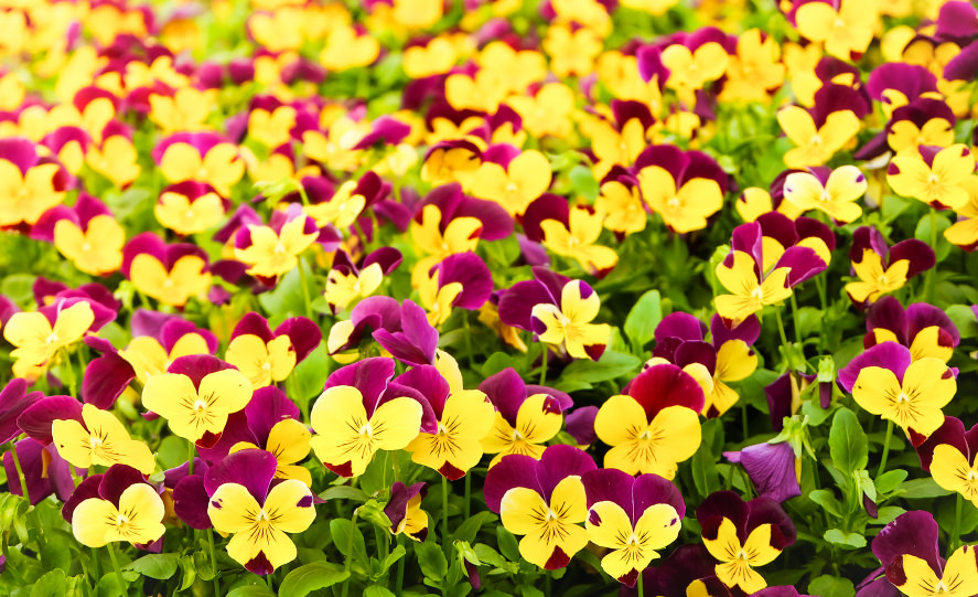 Tricolor pansies dominate the spotlight this time as they have taken over with brilliant and bright colors all by themselves! The purple and yellow colors are a good match together.