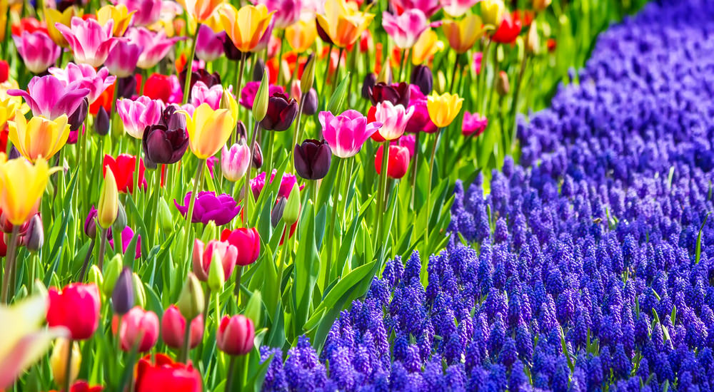 A rainbow of tulips and a sea of blue grape hyacinths meet and create such a magnificent view together.