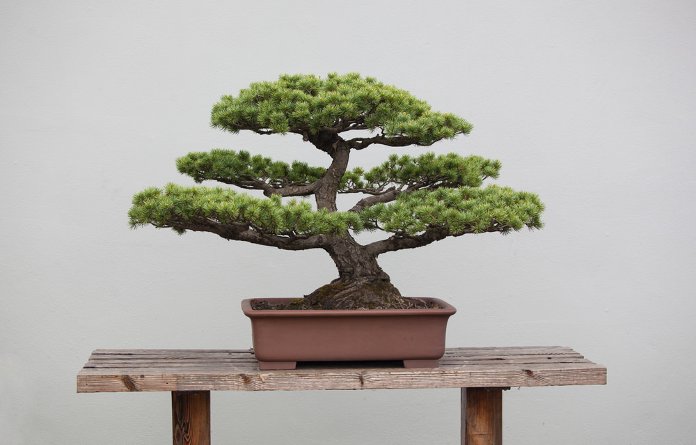 Informal Upright Bonsai Tree