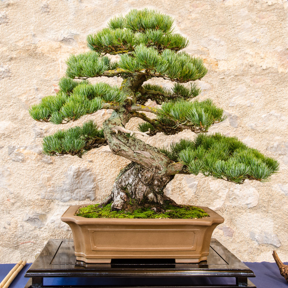 6-bonsai-tree
