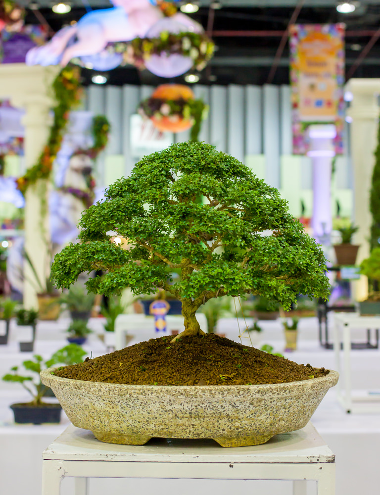 Broom Style Bonsai Tree
