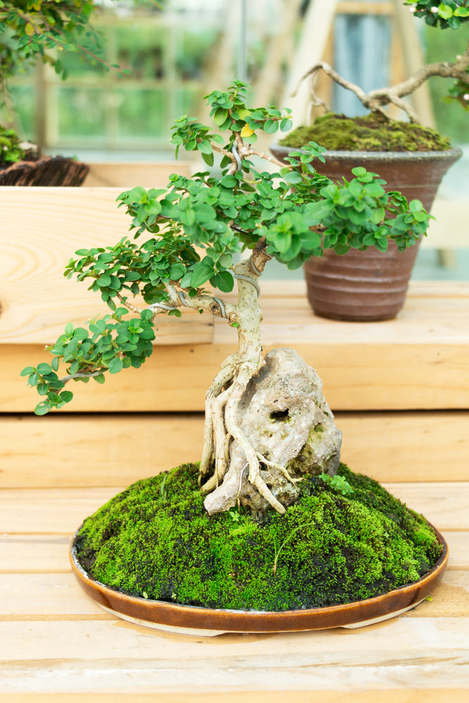 18-bonsai-tree