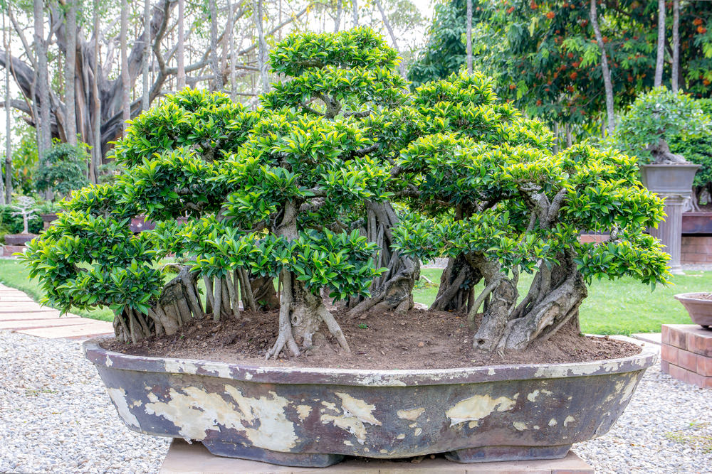 13 Types Of Bonsai Trees By Style And Shape Plus Pictures
