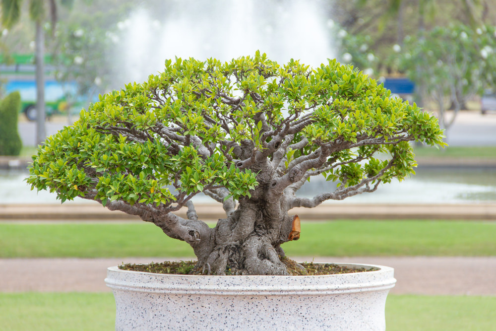 Multi-trunk Bonsai Tree