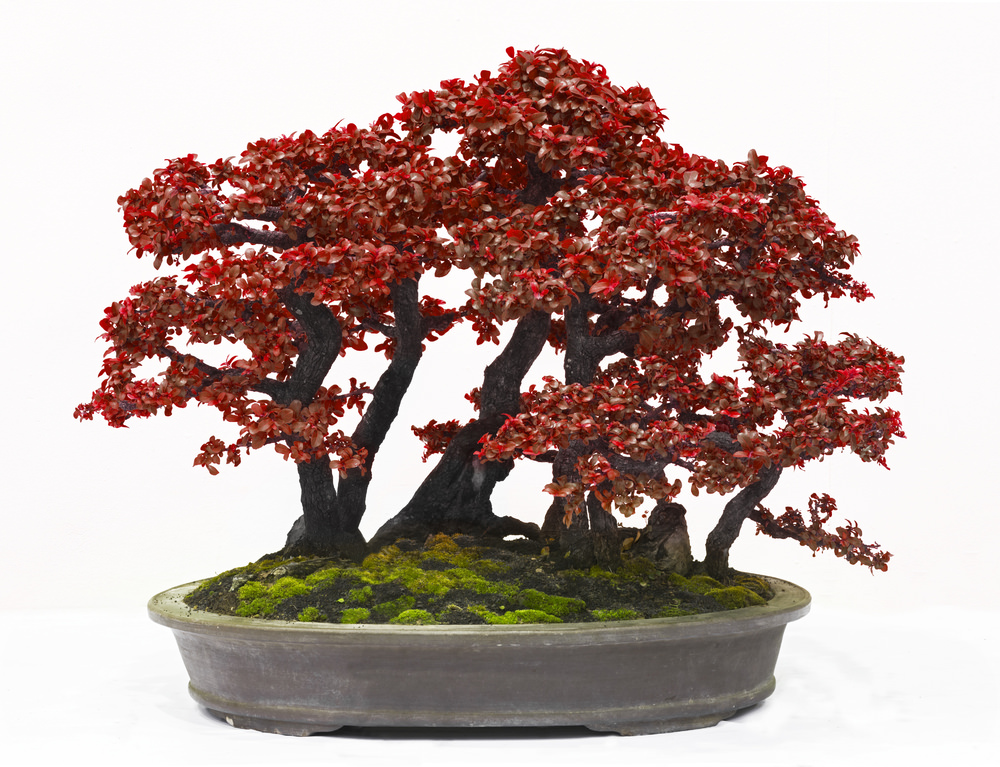 Forest Style Bonsai Tree