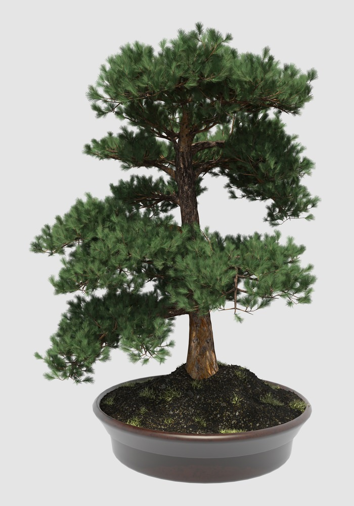 Formal Upright Bonsai